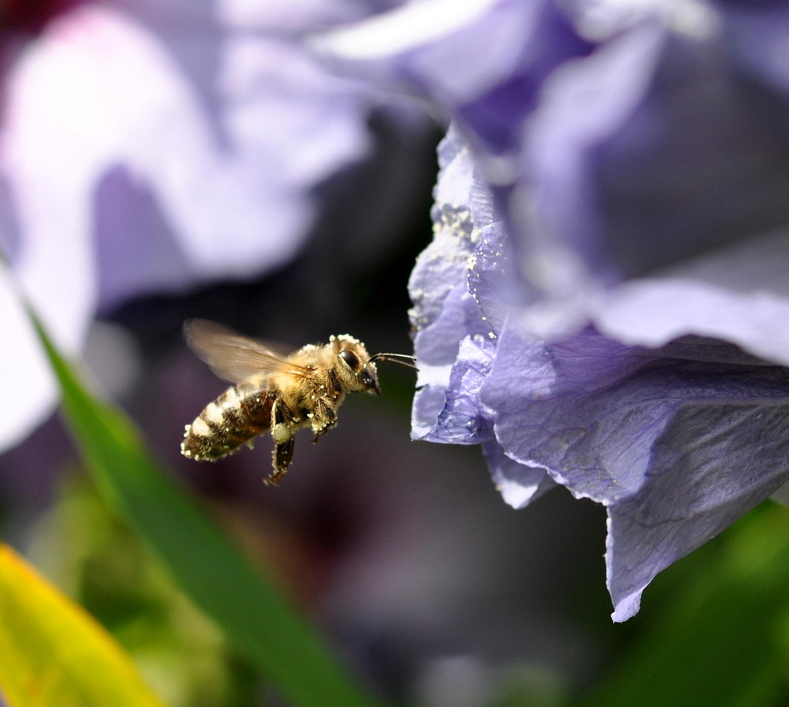 Bien im Siebenstern-Siebensternhonig